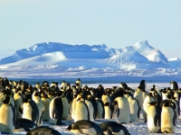 Disparition progressive des manchots Empereurs en Antarctique